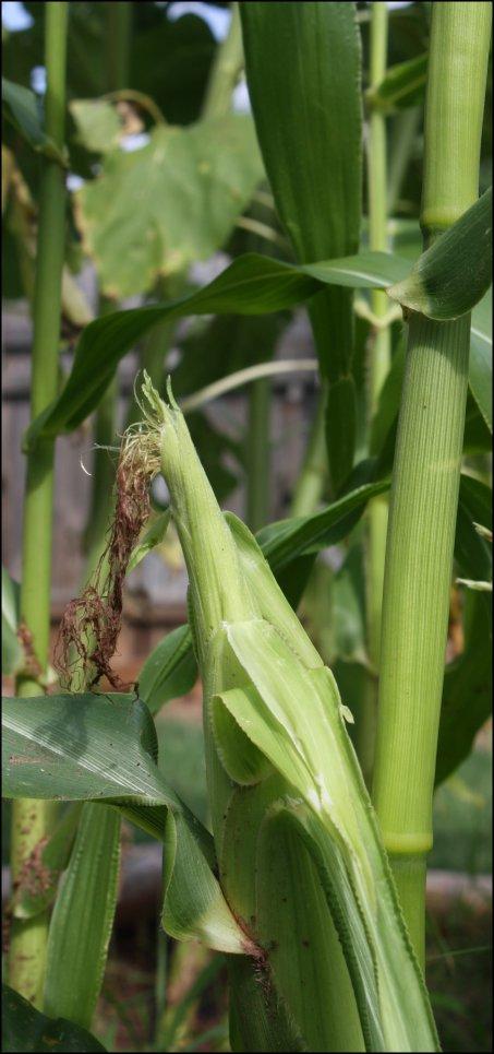 First corn