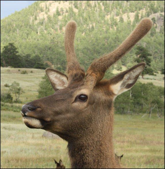 Velvet antlers