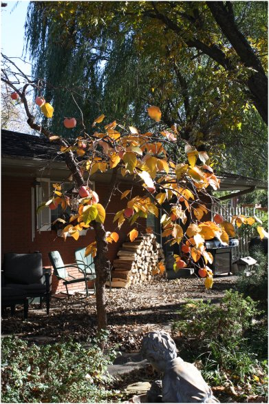 The Little Persimmon Tree