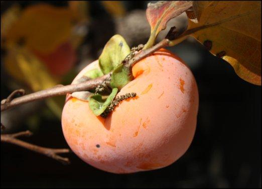Polka dot persimmon
