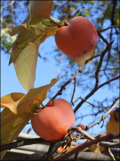 Blue skies and persimmons