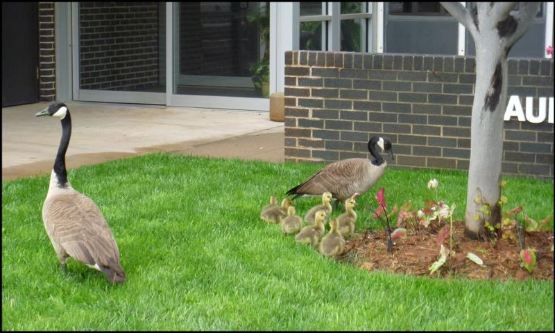 Canada geese and goslings in the courtyard