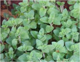Greek Oregano Plant