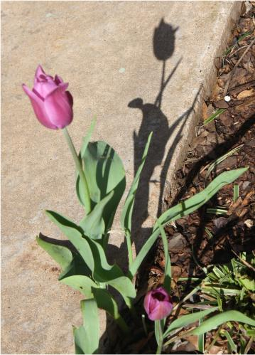 Tulip and Shadow