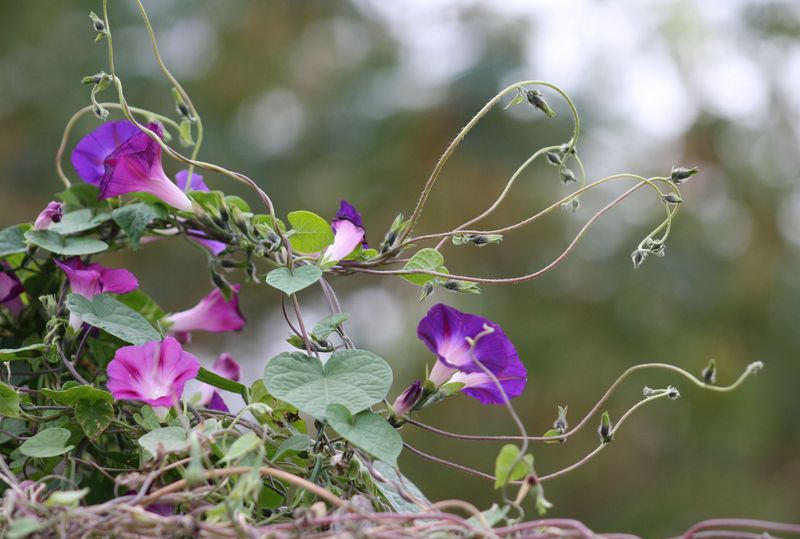Morning glories in november