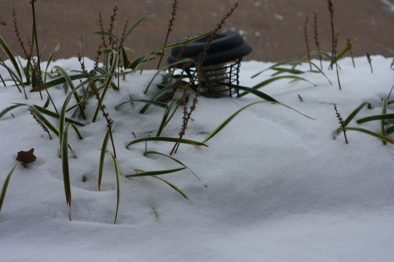 Monkey grass buried in snow