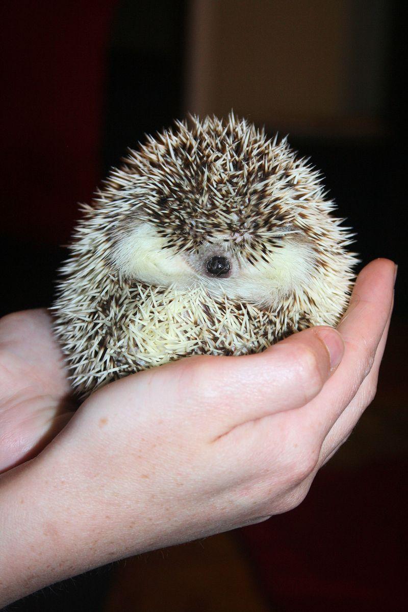 Phoebe the Hedgehog