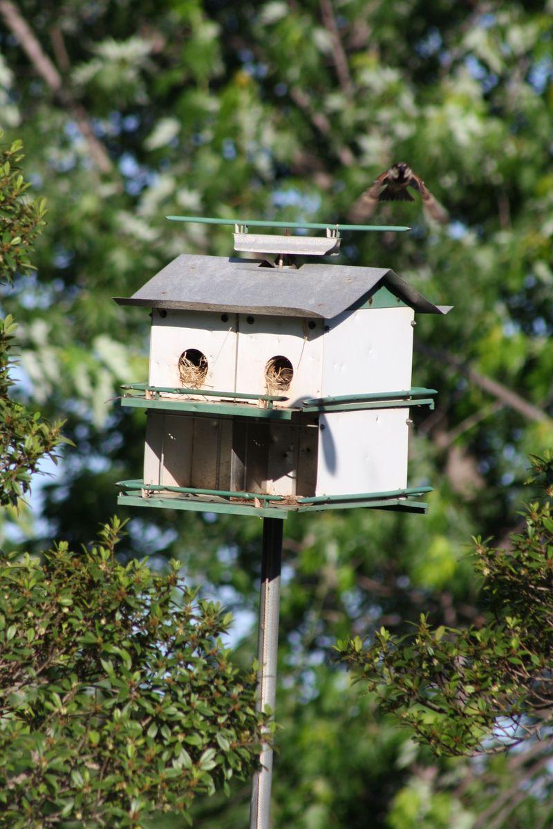 House sparrow comes home